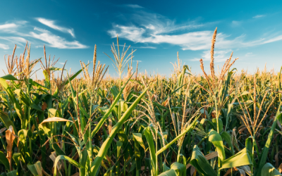 Vier weken extra inzaai vanggewas na maïs